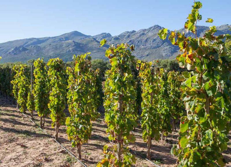 vinyard-in-south-africa.jpg